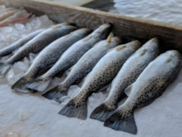 We caught our limit of Speckled Sea Trout