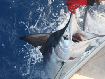 White marlin 40kg on the Razzin Hell.