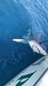 Trophy Catch of the Day ....82\u201d Bull Shark!!!!