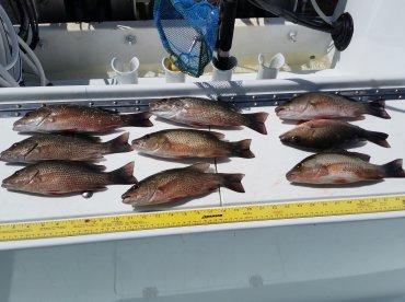 Mangrove snapper 11-13 inch...good eats!