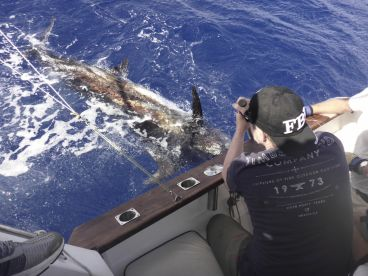 Marlin about to be released.