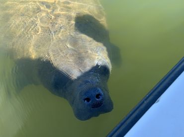 Making new friends with manatees.