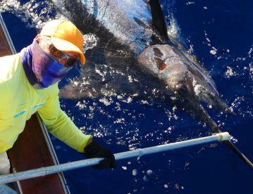 700 pounds blue marlin