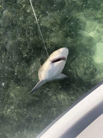 Cuda, Sharks and Snapper