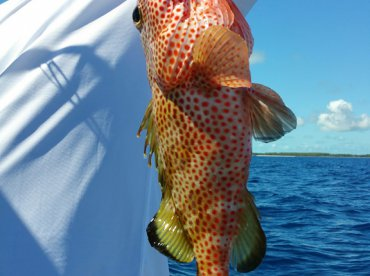 Spotted Grouper-Delicious!