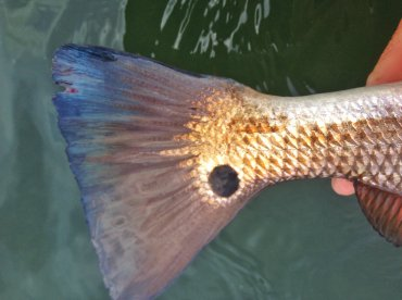 I love the spot on redfish plus the color in the tail.