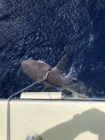 81 Inch Caribbean Reef Shark!