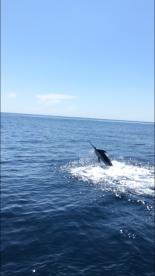 Blue Marlin estimated between 250-300 l